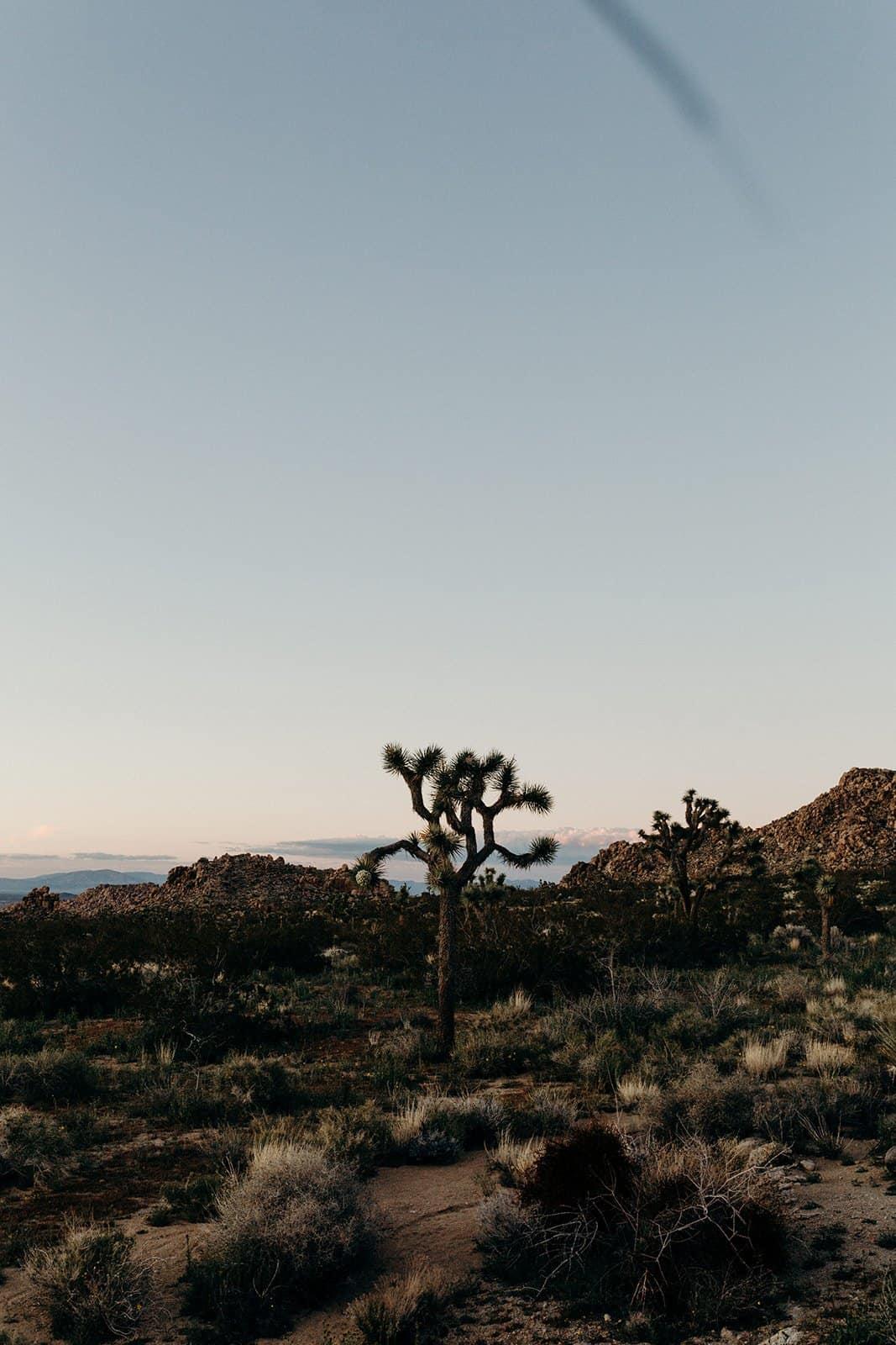 Sunset on joshua tree in Joshua Tree National Park