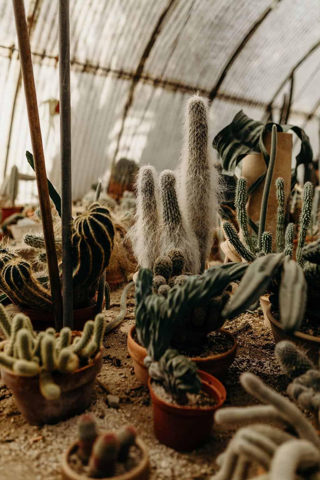 group of cactus in greenhouse at moorten botanical gardens
