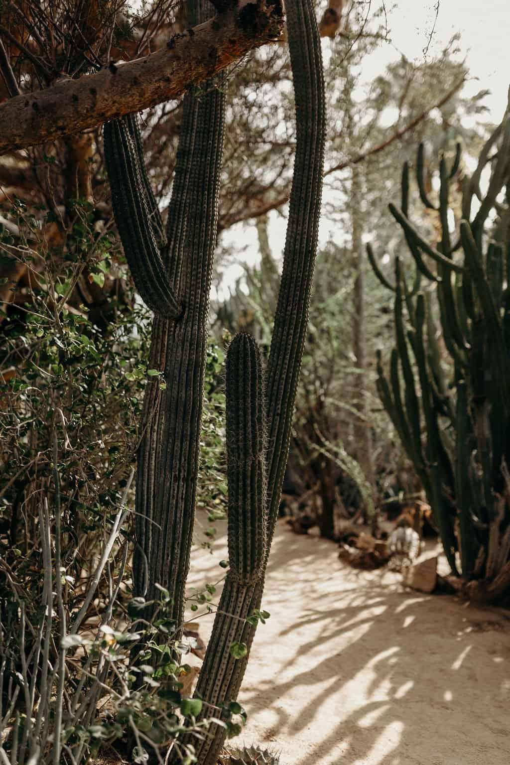 skinny cactus at moorten botanical gardens